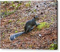 Squirrel Eating Moss Acrylic Print