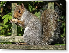 Squirrel Holding A Shelled Peanut Acrylic Print