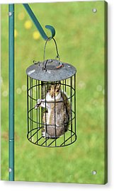 Squirrel In Bird Feeder Acrylic Print