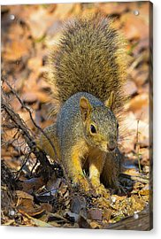 Acrylic Print featuring the photograph Squirrel by John Johnson