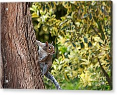 Acrylic Print featuring the photograph Squirrel by Kate Brown