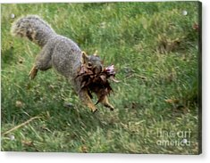 Squirrel Nest Bulding Acrylic Print
