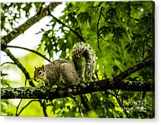 Squirrel On The Hunt Acrylic Print by Deborah Smolinske
