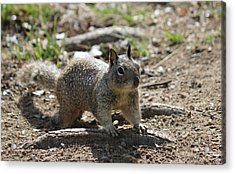 Squirrel Play  Acrylic Print