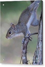 Squirrel Pose Acrylic Print by Deborah Benoit