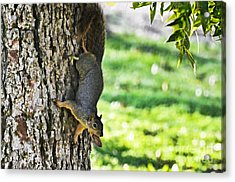 Squirrel With Pecan Acrylic Print by Debbie Portwood