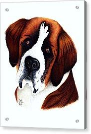 St. Bernard Acrylic Print by Danielle R T Haney