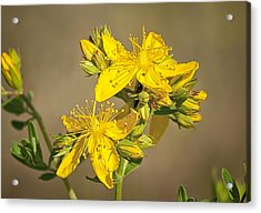 Acrylic Print featuring the photograph St Johns Wort by Betty Depee