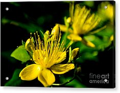 Acrylic Print featuring the photograph St John's Wort by Scott Lyons