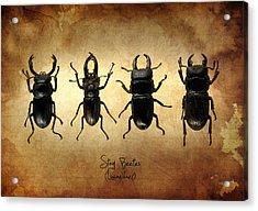 Stag Beetles Acrylic Print by Mark Rogan