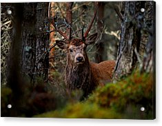 Stag In The Woods Acrylic Print