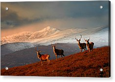 Stags At Strathglass Acrylic Print
