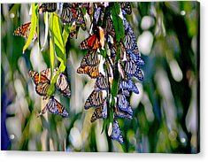 Stained Glass Butterflies Acrylic Print