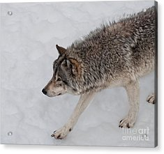 Acrylic Print featuring the photograph Stalker by Bianca Nadeau
