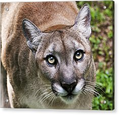 Stalking Cougar Acrylic Print by Donna Proctor