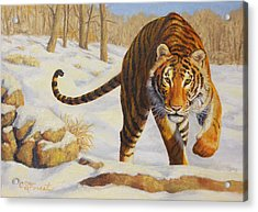 Stalking Siberian Tiger Acrylic Print by Crista Forest