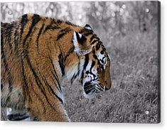 Stalking Tiger Acrylic Print by Dan Sproul