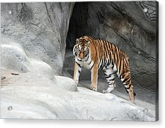 Stalking Tiger Acrylic Print by Ginger Harris