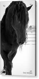 Stallion Essence Acrylic Print