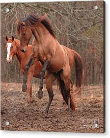 Stallion Rearing Acrylic Print by Russell Christie