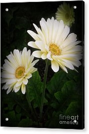 Stand By Me Gerber Daisy Acrylic Print
