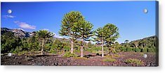 Stand Of Monkey Puzzle Trees (araucaria Acrylic Print by Martin Zwick