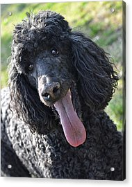 Standard Poodle Acrylic Print by Lisa Phillips