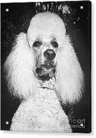 Standard Poodle Acrylic Print by ME Browning