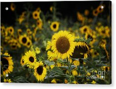 Standing Out In A Crowd Acrylic Print by Cris Hayes
