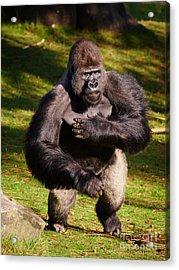 Standing Silverback Gorilla Acrylic Print
