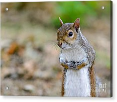 Standing Squirrel Acrylic Print by Matt Malloy