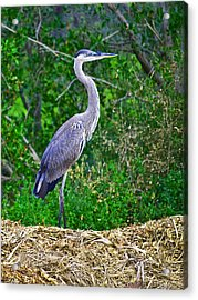 Standing Tall And Proud Wil 338 Acrylic Print