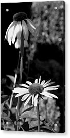 Acrylic Print featuring the photograph Coneflowers Standing Tall   by James C Thomas