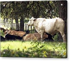 Standing Watch Cattle Photographic Art Print Acrylic Print by Ella Kaye Dickey