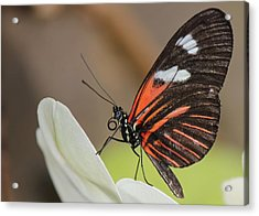 Standup Butterfly Acrylic Print