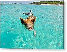 Staniel Cay Swimming Pig Seagull Fish Exumas Acrylic Print