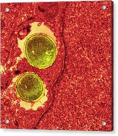 Staphylococcus Aureus Bacteria Acrylic Print by Ami Images
