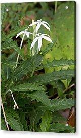 Star Flower (hippobroma Longiflora) Acrylic Print by Bob Gibbons