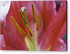 Star Gazer Lilly Macro Acrylic Print by Lesley Rigg