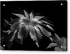 Star Leaf Acrylic Print