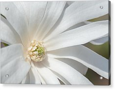 Star Magnolia Close-up Acrylic Print by Priyanka Ravi