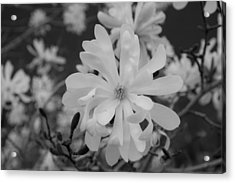 Star Magnolia Monochrome Acrylic Print by Priyanka Ravi