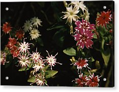 Star Phlox Acrylic Print by Retro Images Archive