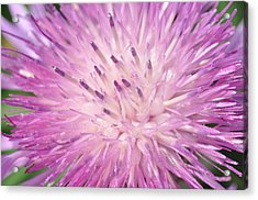 Acrylic Print featuring the photograph Starburst by Sabine Edrissi