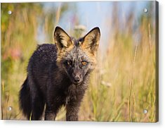 Stare Down Acrylic Print by Darren Langlois