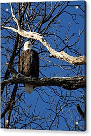 Stare Down Acrylic Print by Thomas Young