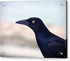 Stare Of The Male Grackle Acrylic Print
