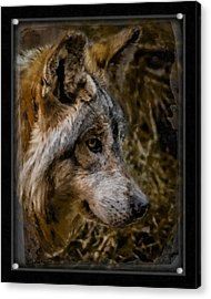 Stare Of The Wolf Acrylic Print by Ernie Echols
