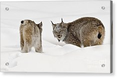 Staredown Acrylic Print by Dee Cresswell