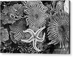 Starfish 3 Acrylic Print